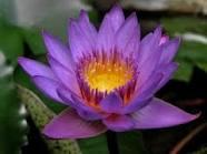Thai Lotus Flower